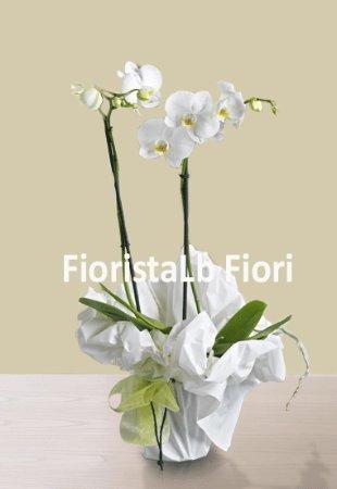 Pianta di orchidea phalaenopsis consegna fiori online a for Orchidea pianta