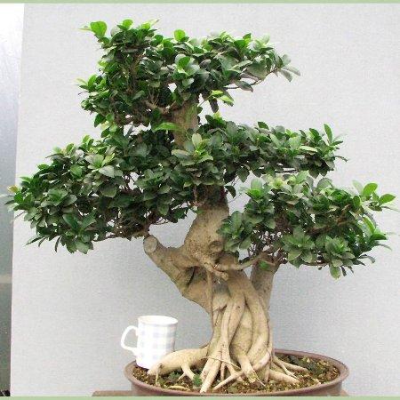 Pianta di bonsai ginseng consegna fiori online a for Bonsai pianta