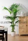 Consegna fiori a domicilia in italia e nel mondo vendita for Pianta kenzia