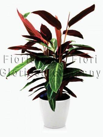 Pianta di maranta calatea consegna fiori online a for Maranta pianta